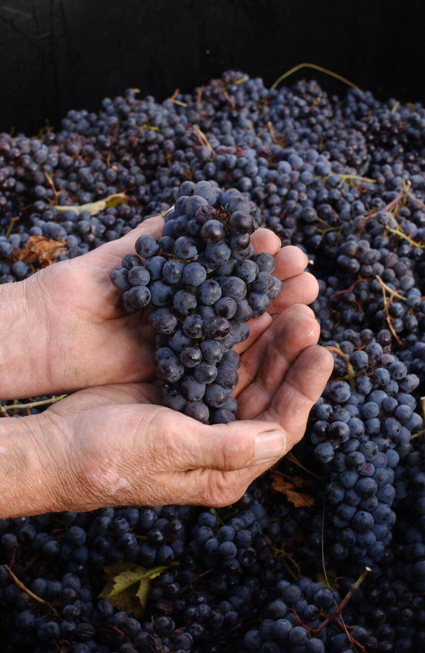 How to Make Your Own Homemade Grape Juice - Wine Grapes - Long Island Vineyard Tours